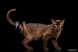 Bild på Brown burmese cat standing and Looking in camera, chocolate shining fur on isolated black background, side view